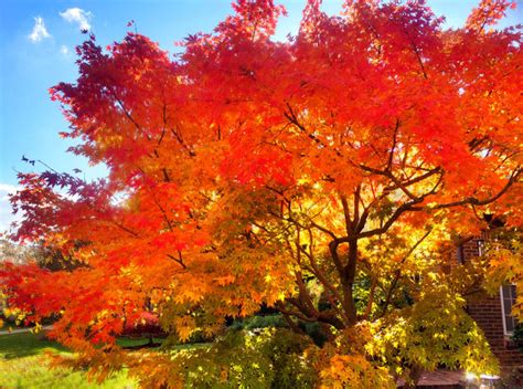japanese maple fall japanese maple in fall by o2bdiving photo weather underground