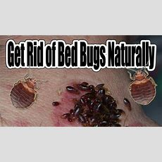 How To Get Rid Of Bed Bugs Naturally Youtube