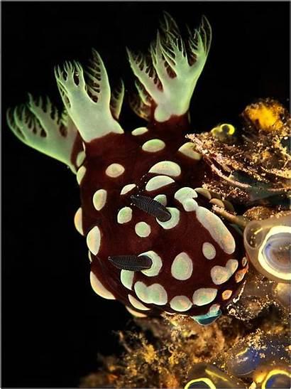 Sea Nudibranch Slug Species Brown Creatures Dragon