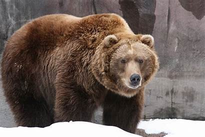 Grizzly Bear Facts Bears Canadian Interesting Grolar