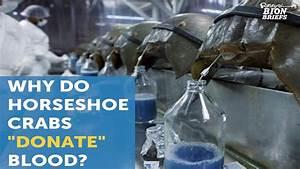Horseshoe Crab Blood Saves Lives - YouTube