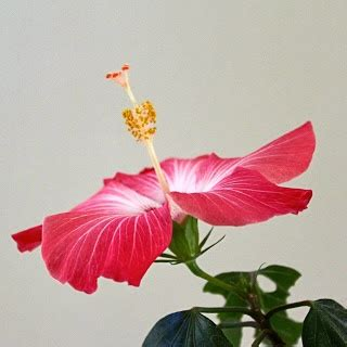 caring for hibiscus in pots caring for hibiscus in pots 28 images how to care for a potted hibiscus tree gardening