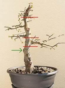 Bonsai Baum Schneiden : wann man einen bonsai am stamm schneidet oder s gt bonsai bonsai bonsai baum und bonsai pflege ~ Frokenaadalensverden.com Haus und Dekorationen