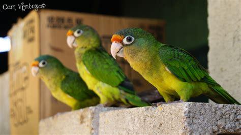 photo de d artagnan tri 243 de pericos el perico donde quiera es verde ventoza flickr