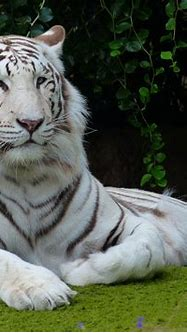 Is the Siberian Tiger white ? - Tigers In the Wild