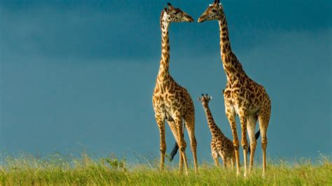 Free Animated Animal Wallpaper - animated giraffe wallpaper
