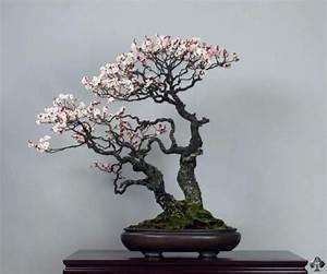 1000 idees sur le theme prunus sur pinterest arbres for Marvelous idee de plantation pour jardin 17 cerisier plantation entretien et recolte
