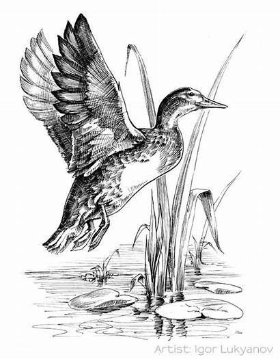 Duck Flying Ducks Drawing Drawings Pen Hunting