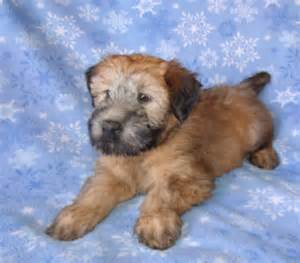 a soft coated wheaten terrier puppy