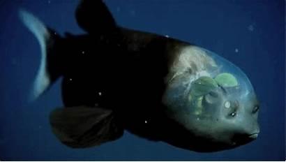 Fish Barreleye Deep Sea Barrel Head Eye