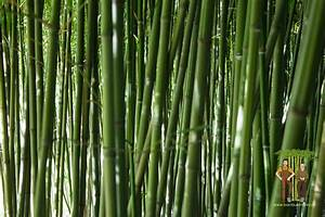 Bambus Vernichten Tipps : bambus hintergrundbild bambus kaufen ~ Whattoseeinmadrid.com Haus und Dekorationen