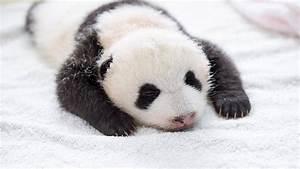 10 newly born baby pandas make their public debut