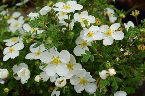 Potentilla fruticosa 'Abbotswood' Parastā klinšrozīte ...