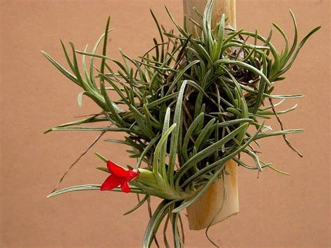 plants that grow in air magical air plants how to grow and care