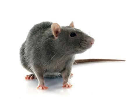 rat pest control seattle wa rat exterminator stop