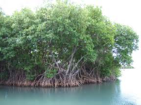 File:Mangroves in Puerto Rico.JPG - Wikimedia Commons