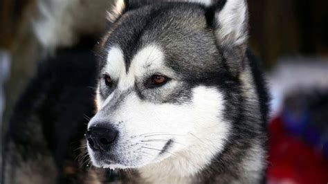 alaskan husky information characteristics facts names