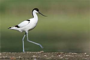Pied avocet - Animals HD Wallpapers and Photos