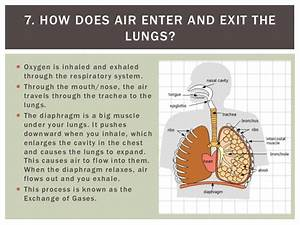 Lungs Alveolus