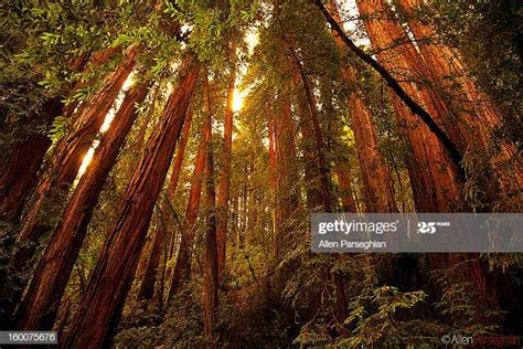 Muir Woods Photos and Premium High Res Pictures - Getty Images