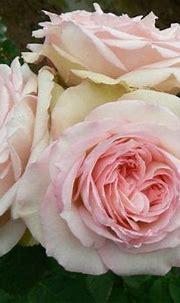 Pink Carmeline Spray Garden Roses | Pink flowers, Pink ...
