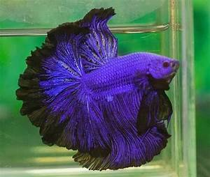 Coole Aquarium Deko : violett kampffische pinterest fische kampffisch und aquarium ~ Markanthonyermac.com Haus und Dekorationen