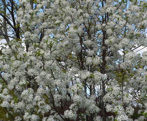 blooming trees in visit my garden spring flowering trees