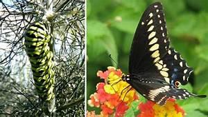 To Attract Butterflies  Don U0026 39 T Kill The Caterpillars