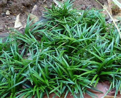 Ophiopogon Japonicus, Cultivated