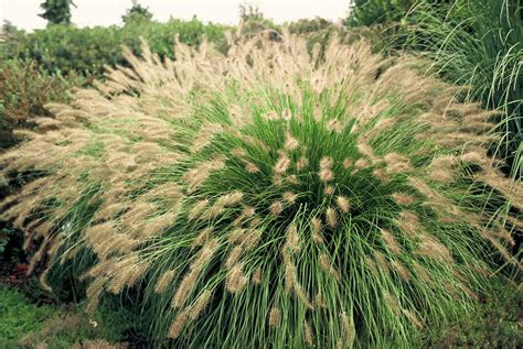 pennisetum alopecuroides hameln 1000 images about grasses for gardens on gardens sun and hakone