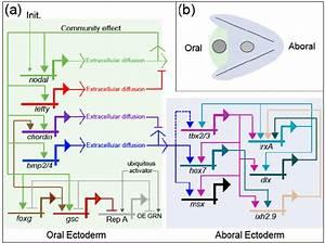 A Model Of The Gene Regulatory Network  Grn  Underlying