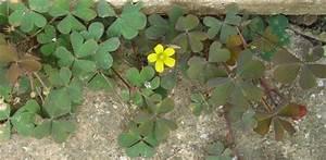 Alpenveilchen Gelbe Blätter : l stiger gelb bl hender klee pflanzenkosmos ~ Lizthompson.info Haus und Dekorationen