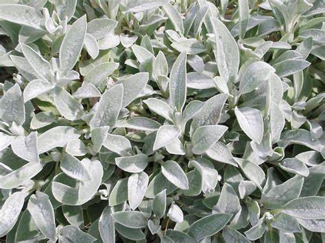 "Lambs Ears 6"" Pot  Hello Hello Plants & Garden Supplies"