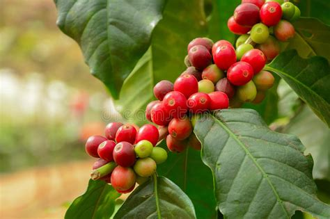 Fresh Coffee Beans On Branch Of Coffee Plant Stock Image
