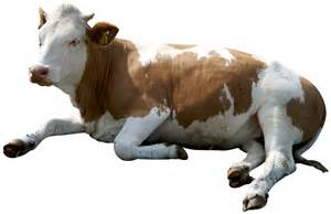 Cow Transparent Animals