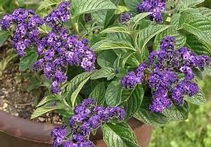Vainilla de jardín, Heliotropo, Hierba de la mula, Violoncillo Heliotropium peruvianum