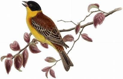 Yellow Bird Clip Thegraphicsfairy Clipart Fairy Birds