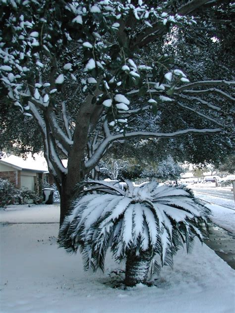sago care in winter tips for winterizing sago palms