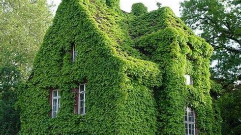 tanaman merayap  tembok