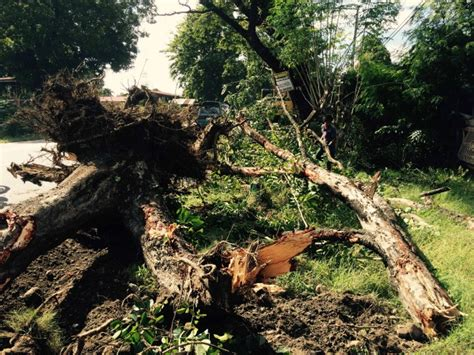 tree cutting along macarthur highway in pangasinan resumes
