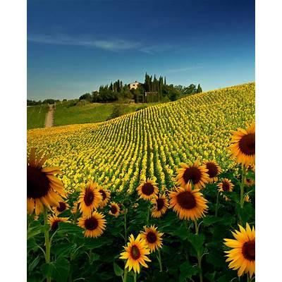 Sunflower Field near San Gimignano Tuscany. I had found
