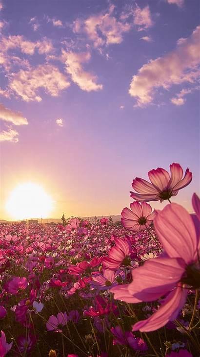 Cosmos Flowers Field Wallpapers Note Flower Pink