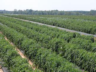 commercial tomato production handbook uga cooperative
