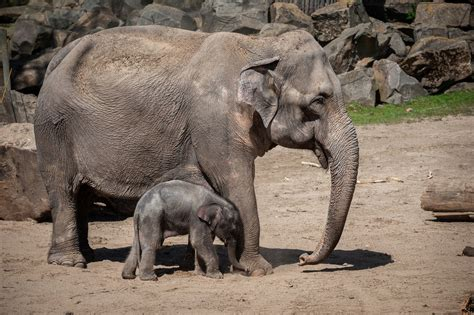 elephant week planckendael zookeepers phyo mourn second death baby decision difficult very