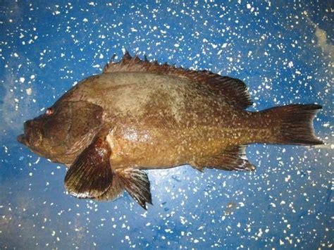 grouper marbled inermis allrefer