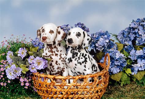 dalmation animal stock  kimballstock