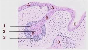 Oral Histology