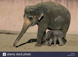 Indian Baby Elephant | www.pixshark.com - Images Galleries ...