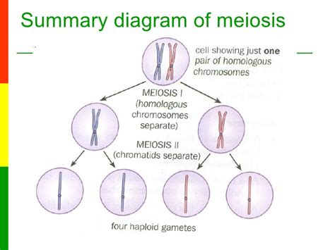 lesson   stages  meiosis