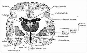 Cranial Rhythm Modified By The Interthalamic Adhesion